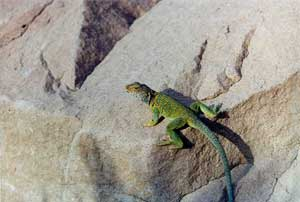 A bright green lizard sunning itself on a large gray boulder.