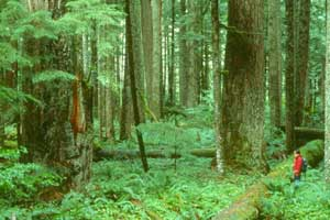 A hiker in a red jacket, standing amid the lush green undergrowth of an old growth forest.