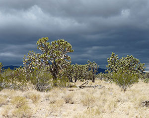 Slate colored skies loom over the dense old growth Joshua tree forest.
