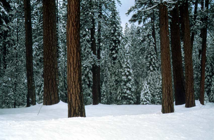 An iconic winter image of large brown tree trunks, with a background of green forest trees draped in white snow.