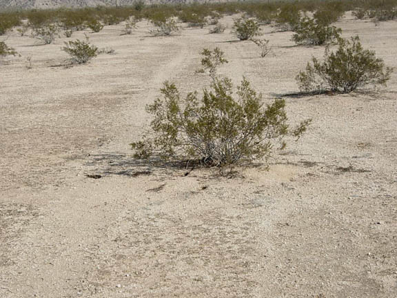 Some of tire tracks leave their marks on the desert floor for a long time. In some cases, as in this photo, the tracks have been there so long that plants have grown up in and around them.