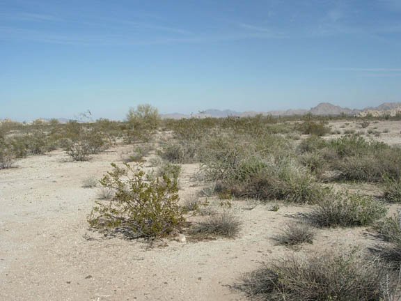 Another view of the flatlands that houses human-size desert shrubs on a clear and sunny day.