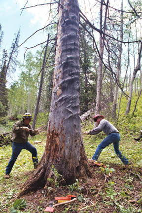 Two agency staff members work together using a large hand saw to fell a dead tree.