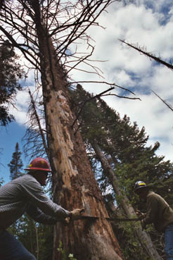 Two men wearing hard hats, working together to cut down a large dead tree, using a hand saw.