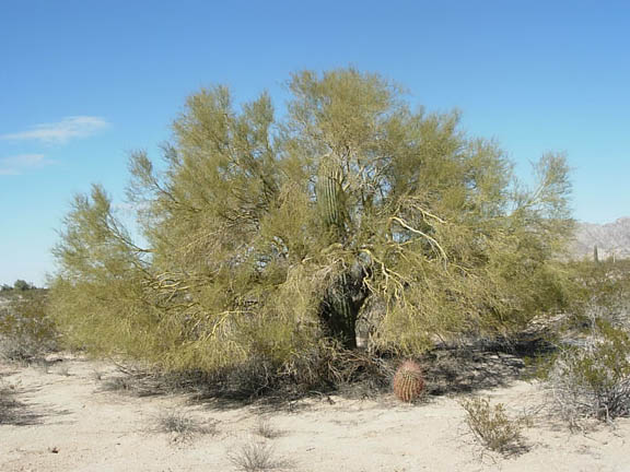 A palo verde tree grows large in a generally tree-less landscape. Unlike most trees, it has photosynthetic bark. A young saguaro cactus grows in its midst. Trees like this provide nursery sites for saguaros to get their start. A saguaro is usually 70 years old before it gets its first arm.