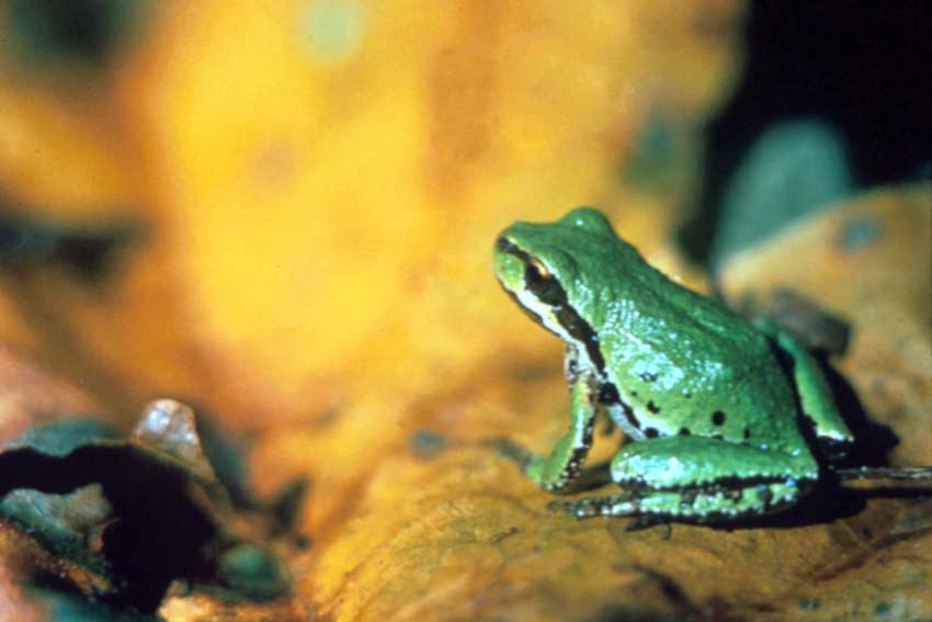 Close-up of a small green frog with black markings.