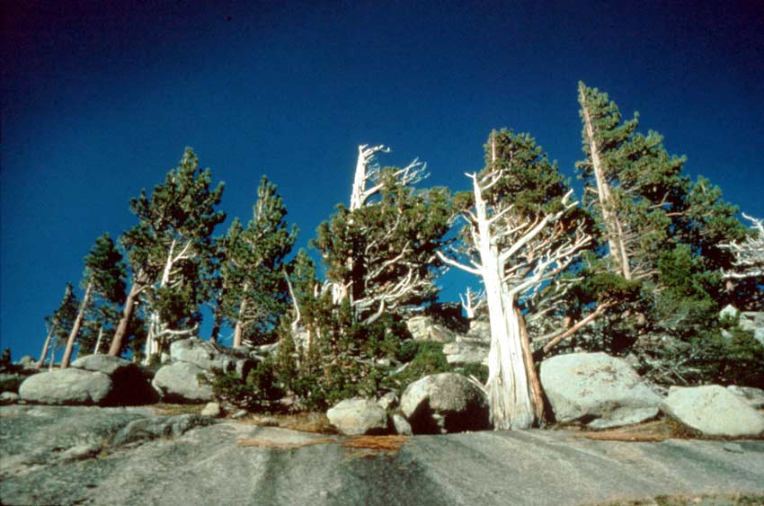 Weathered alpine pine trees surrounded by boulders, reaching up towards the empty sky fading from blue to black.