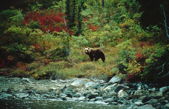 A large Brown Bear posing in a small clearing along the edge of a rushing river, surrounded by dense forest streaked with autumn color of reds and greens.