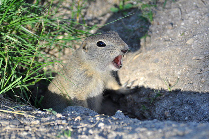 A small ground squirrel chirping