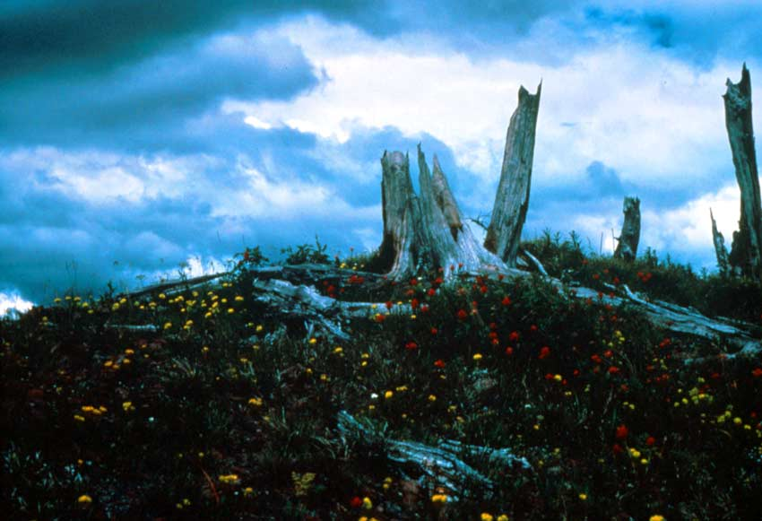 Weathered remains of several large stumps standing on a hilltop surrounded by patches of yellow and red wildflowers, under a tumultuous cloudy sky.