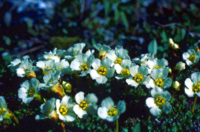 A close-up of a small cluster of white alpine flowers, growing low to the ground.