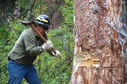 A man in a hard hat, using an axe to notch a large tree in preparation for removal.