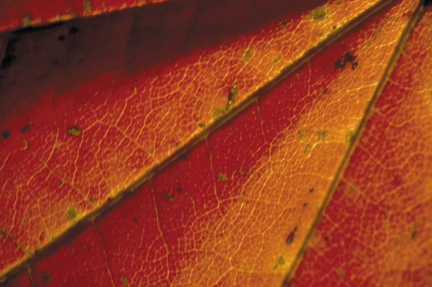 Close-up of the veins in a brilliant orange tree leaf.