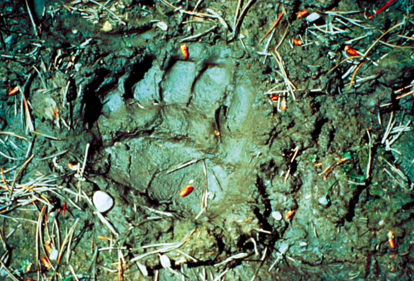 A close-up of a large bear track in soft mud on the forest floor.