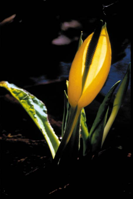 A small skunk cabbage rising out of shadow, its yellow bulb backlit by early morning light.