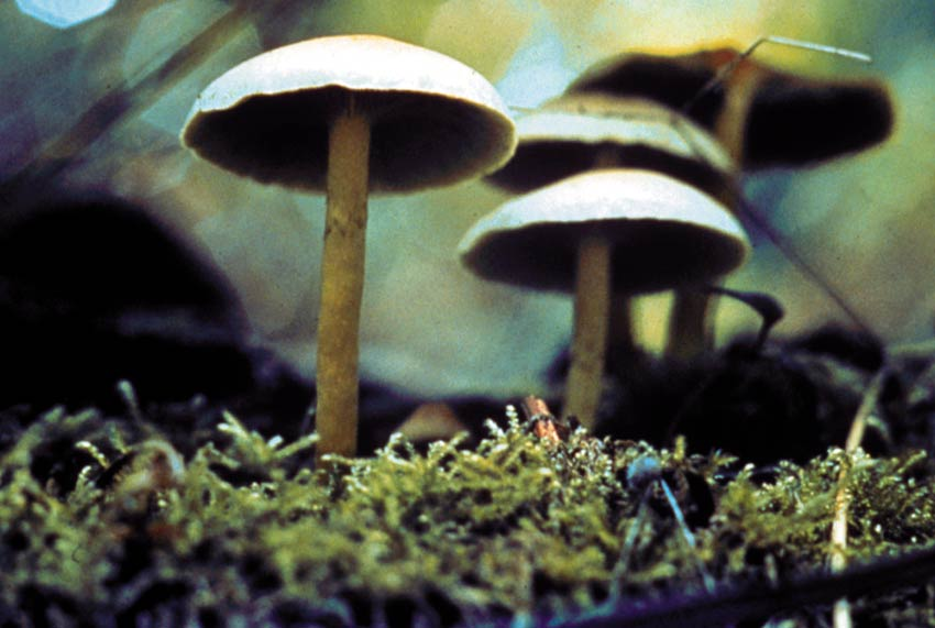 Close-up of a cluster of small brown mushrooms growing in thick moss on the forest floor.