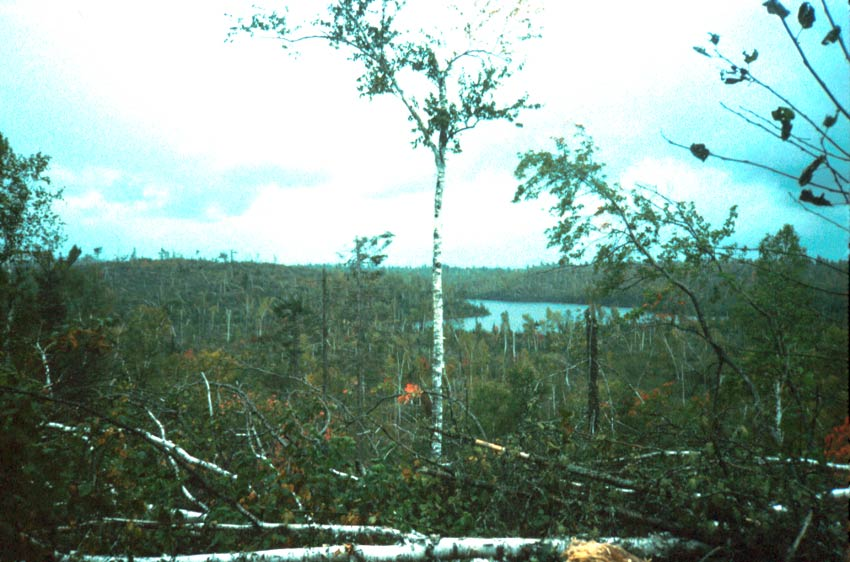 A lone birch tree stands out above a forest landscape, a large number of windfall trees in the foreground.