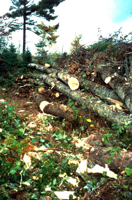 A large pile of cleared windfall trees.