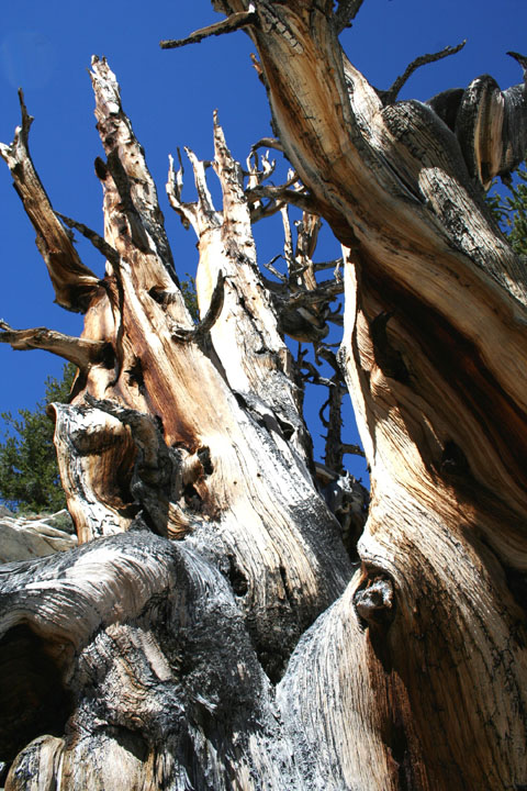 A close-up of the weathered trunk of a massive old pine tree, against a background of deep blue sky.