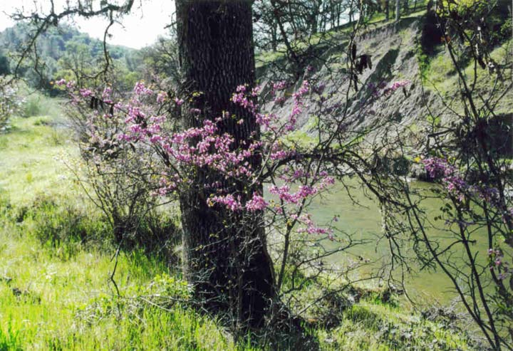 A bush covered in bright pink blossoms around the trunk of a large tree, along the edge of a grassy meadow.