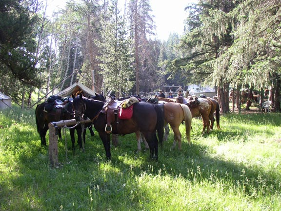 A large group of pack horses tethered to a post, standing in the middle of a grassy clearing near a camp, surrounded by forest.