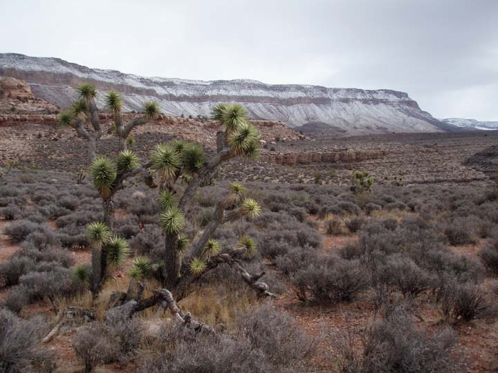 A lone desert tree standing tall above the surrounding gray scrub brush, with a high snow-dusted ridge leading away in the background.