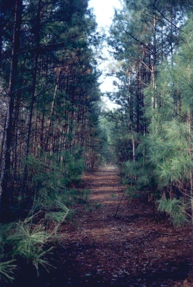 Looking down a narrow forest path, bordered by high pine trees.