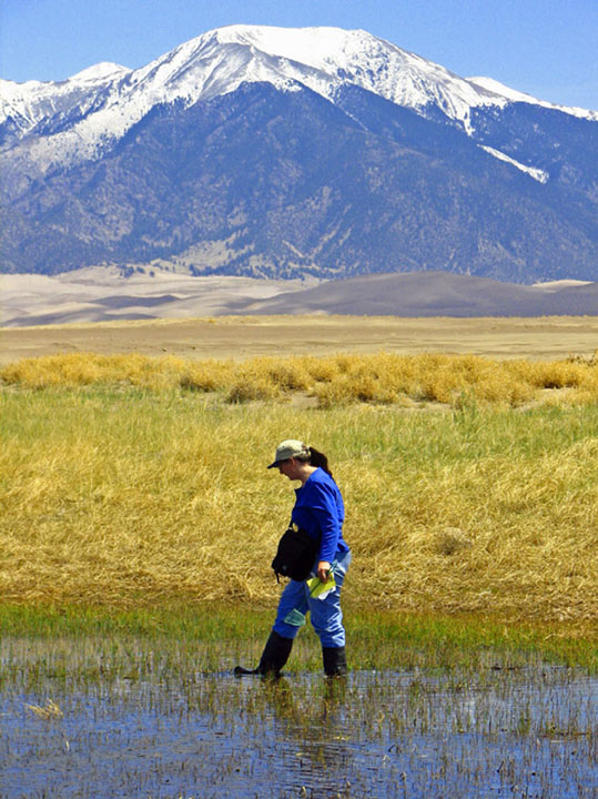 A woman walking through shallow water searching for amphibians. Sand dunes in the background fade into a tall snow-capped peak, towering far above.