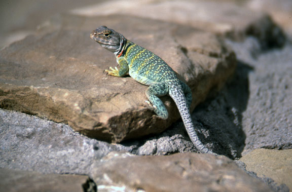 A lizard poses on a rock in the Chaco Canyon National Monument.