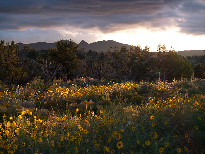 Yellow flowers span the foreground in front of distant mountains