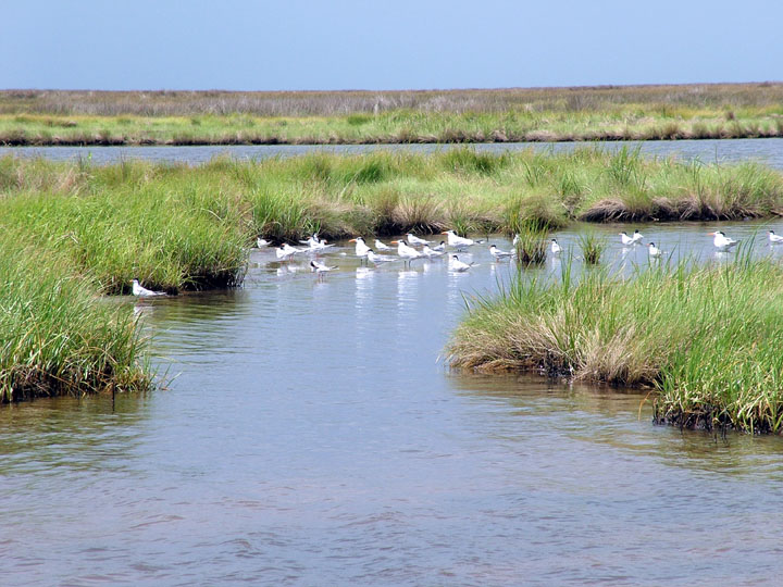 A small group of white terns stand in the marshy shallows, amid green grass.