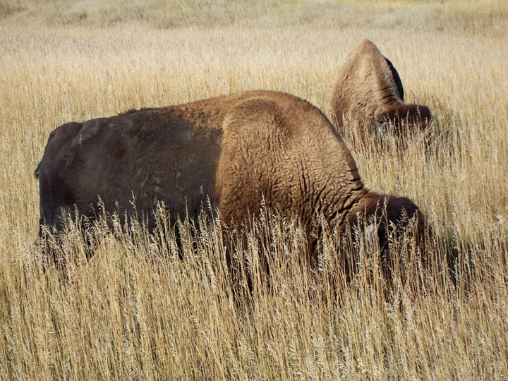 A pair of bison grazing in the tall golden prairie grass.