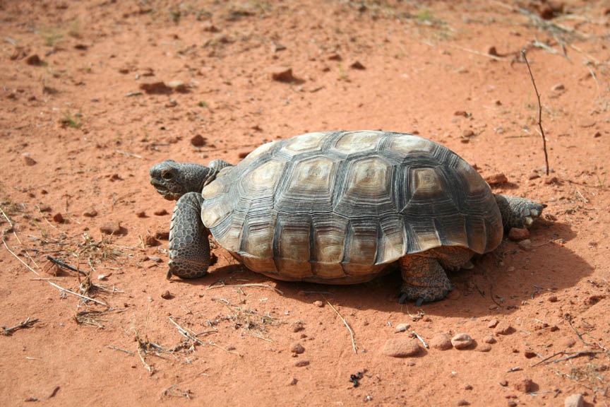 A small desert tortoise, crawling across the red soil.