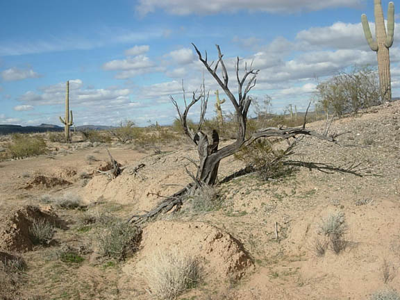 An ironwood stump, in the eastern region of the Cabeza Prieta National Wildlife Refuge.