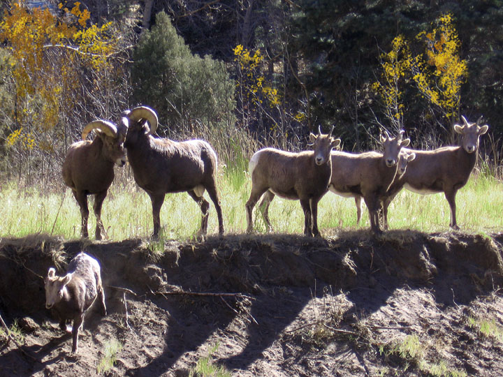 A small group of Bighorn Sheep rams, ewes, and lambs, stand at the edge of a small embankement on the edge of the forest.
