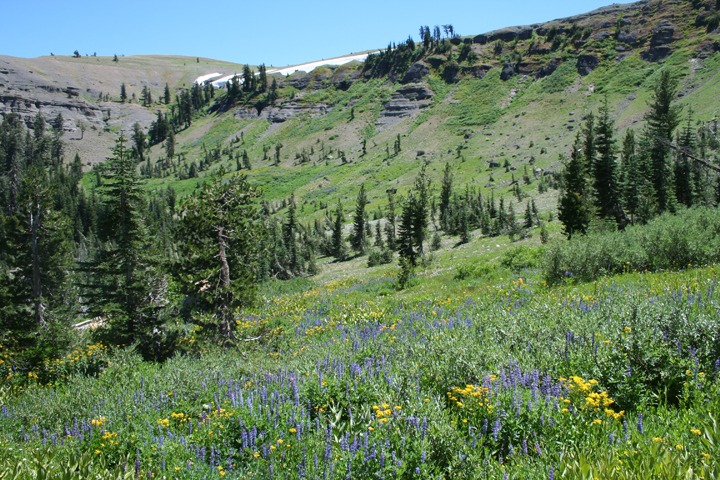 An open alpine meadow covered in blue and yellow wildflowers, and surrounded by open forest and steep rocky ridges.