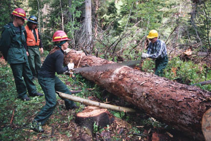 Several people wearing hard hats, using a large hand saw to cut felled tree into sections.