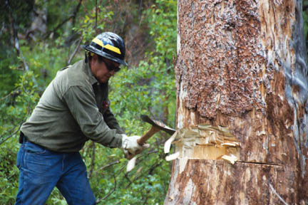 A man in a hard hat, using an axe to cut a notch into a tree in preparation for removal.