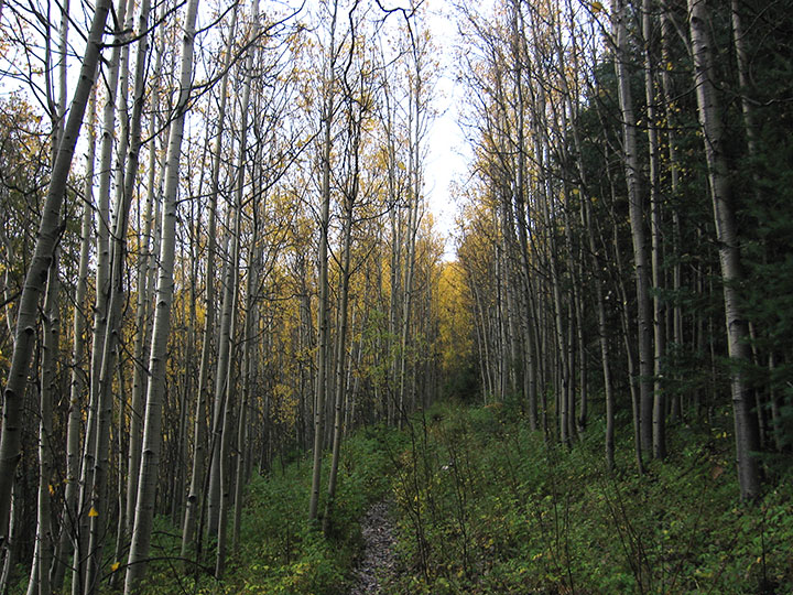 Aspen trees line a forest trail