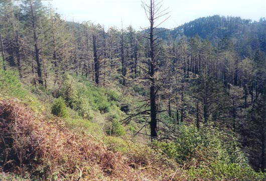 Looking out over a slope covered in low green brush, and tall evergreens, with the sparse remains of charred trees.