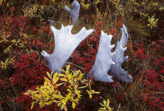 Caribou antlers nestled in the autumn colors of the tundra.