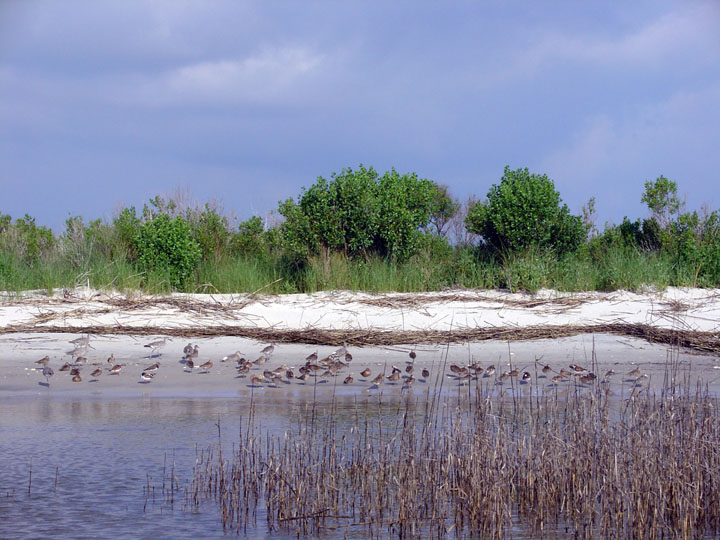 Various shorebirds standing along the water, protected by tall marsh grass. Dense green foliage rises from behind the beach.