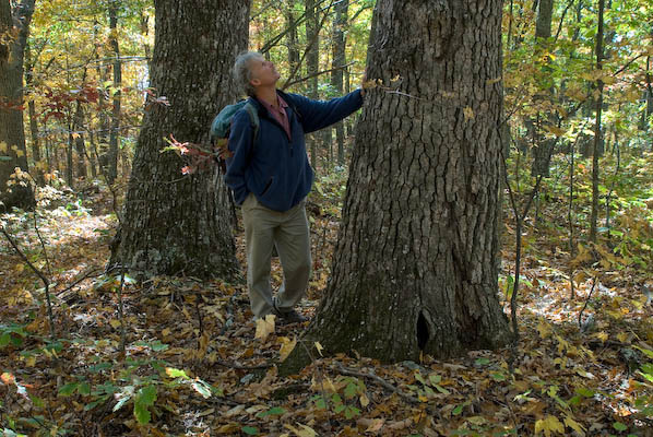 A hiker looks up at an old growth oak at Brushy Mountain in autumn.