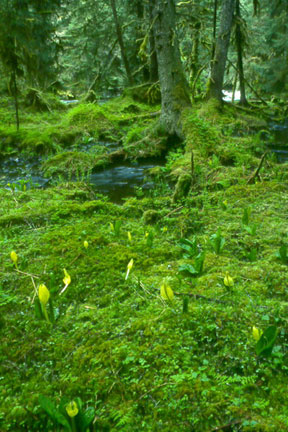 The forest floor is carpeted in bright green flora. In the background a little creek rushes by the towering trees.