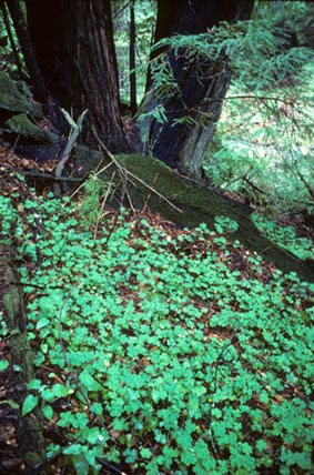 A patch of Redwood Sorrels blacket the Los Padres National Forest.