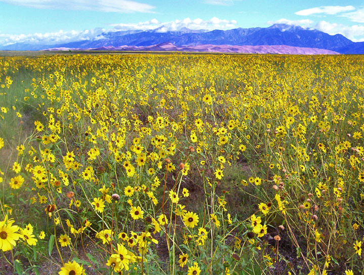 A seemingly endless field of yellow wildflowers stretches towards golden sand dunes and high mountains in the distance.