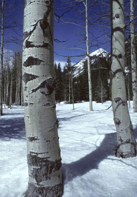 This photo is a close-up of aspen trees surrounded by snow-covered ground.