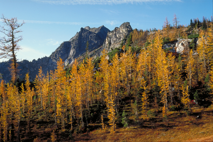 Deciduous trees turn yellow on a mountain side in the Alpine Lakes Wilderness on a clear sunny day.