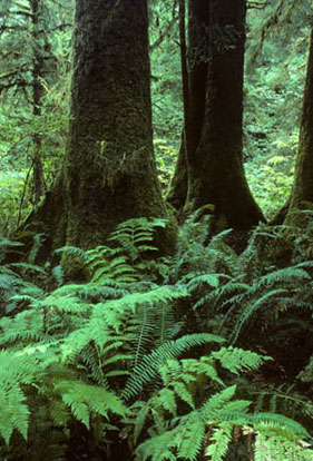 Thick tree trunks stand behind lush, green, ground ferns.