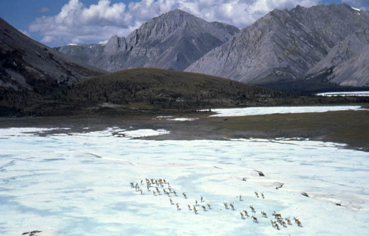 A small herd of caribou crossing an ice sheet, towards high mountains in the near distance.